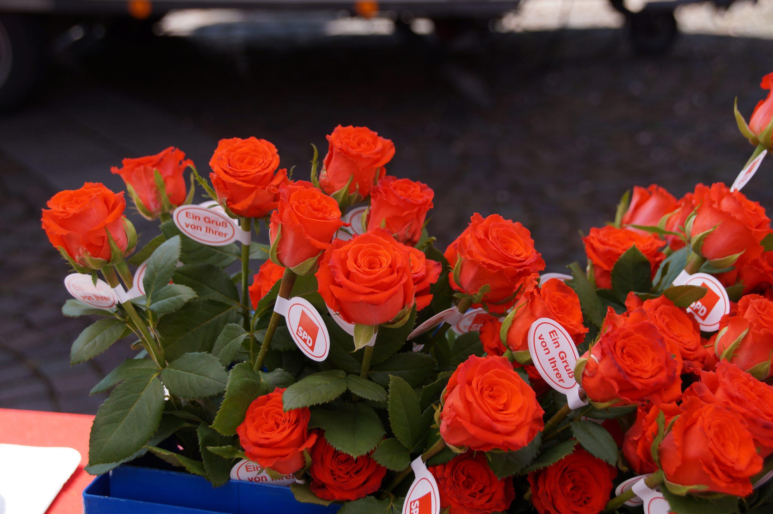 Rote Rosen mit SPD-Anhängern