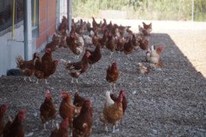 Eine Hühnerschar im Schatten